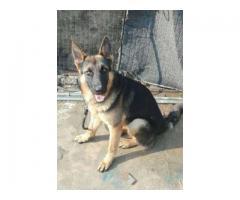 Beautiful and Healthy Dog For Sale In Rawalpindi