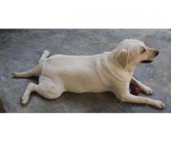 Labrador Retriever Puppy For Sale In Karachi