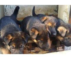 GERMAN SHEPHERD PUPPIES AVAILABLE FOR SALE IN KARACHI