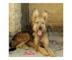 Shepherd Doodle Dog Female , 7 Month Old For Sale In Lahore