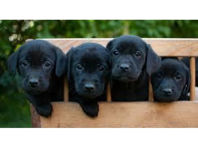 Black Labrador Pair available for sale or exchange possible