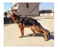 German shepherd male For Sale In  Mianwali