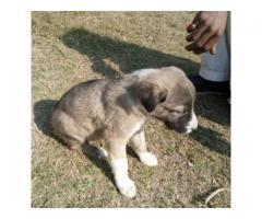 Puppy Dog Very Beautiful for Sale In  Dera Ismail Khan