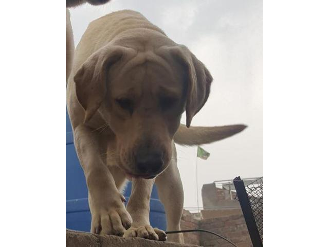 Labrador breeder mail for sale age 19 months location Lahore