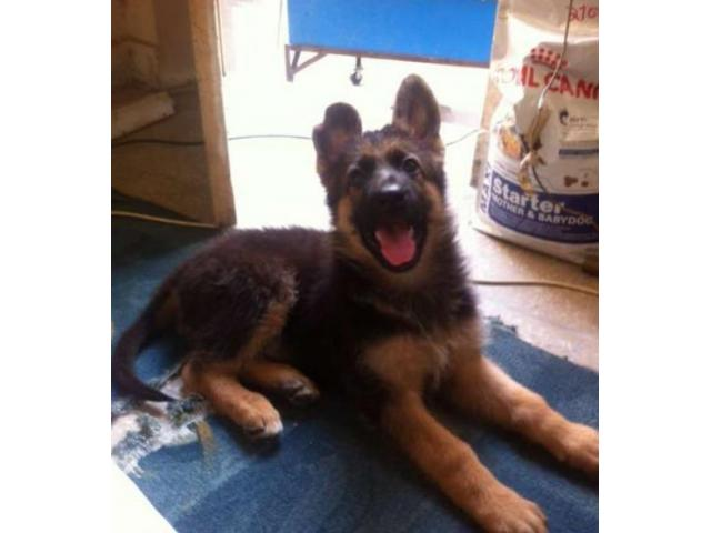 German Shepherd Puppy 2 Time Vaccinated For Sale In Lahore