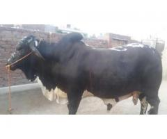 Black Bull For Qurbani Available For Sale In Jehlum Reasonable Price