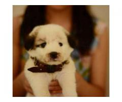 Russian Puppy Fully vaccinated 1 Month Age For Sale In Karachi