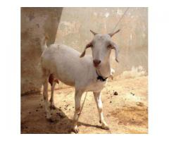 Goats Male And Female With Kids Available For Sale In Karachi