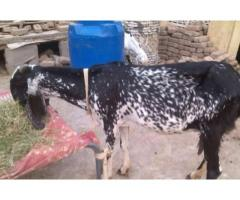 Goat With 1 Kg Milk Healthy And Active For Sale In Rawalpindi