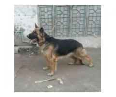 German Shepard Dog Female Breeder Age 17 Month For Sale In Rawalpindi