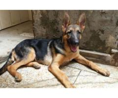 German Shepard Male Dog Vaccinated 4 Month Age For Sale In Lahore