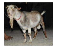 Goat Male Heavy Weight In Just 55000 For Sale In Karachi